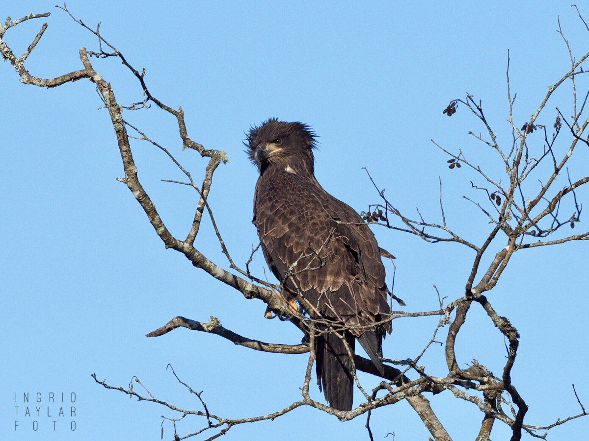 First Year Bald Eagle in Tree