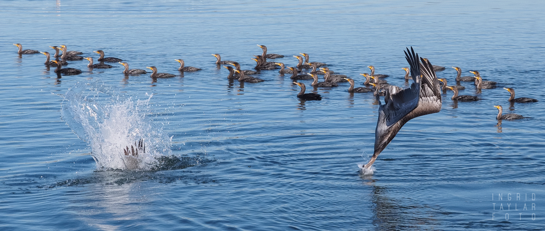Pelican and Cormorant Feeding Frenzy