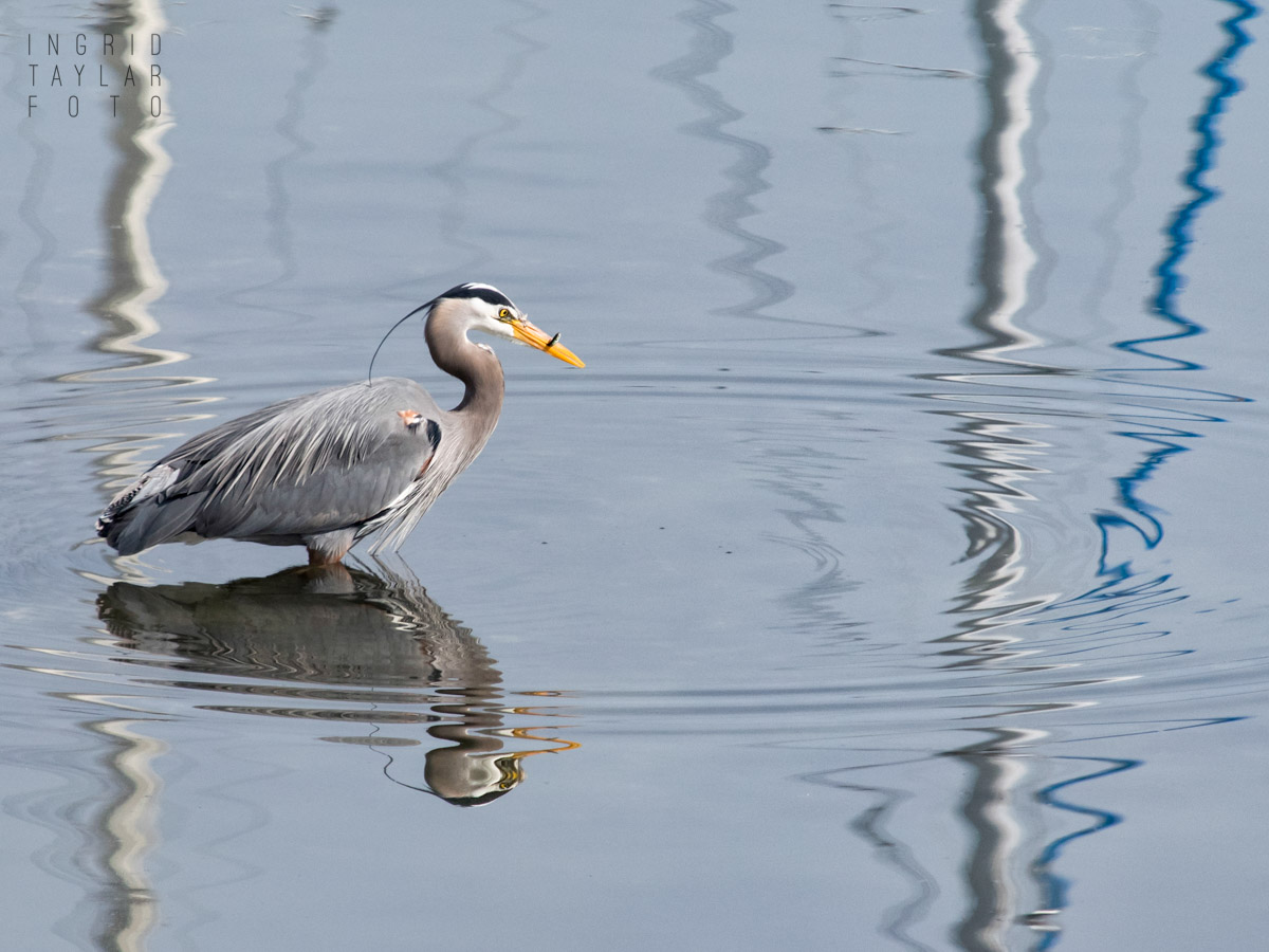 Great Blue Heron Fishing in Reflections