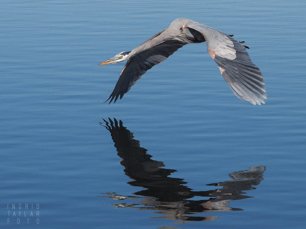 Great Blue Heron Flying Reflected