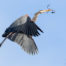 Great Blue Heron Flying with Twig