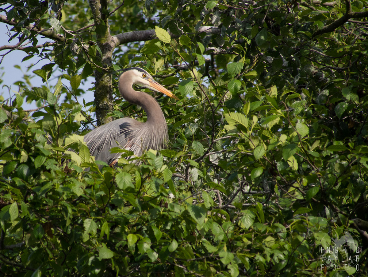 Great Blue Heron in Rookery