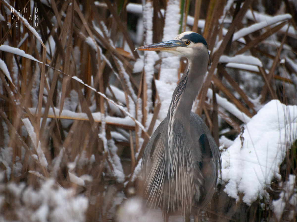 Great Blue Heron in the Snow at Normandy Park Cove