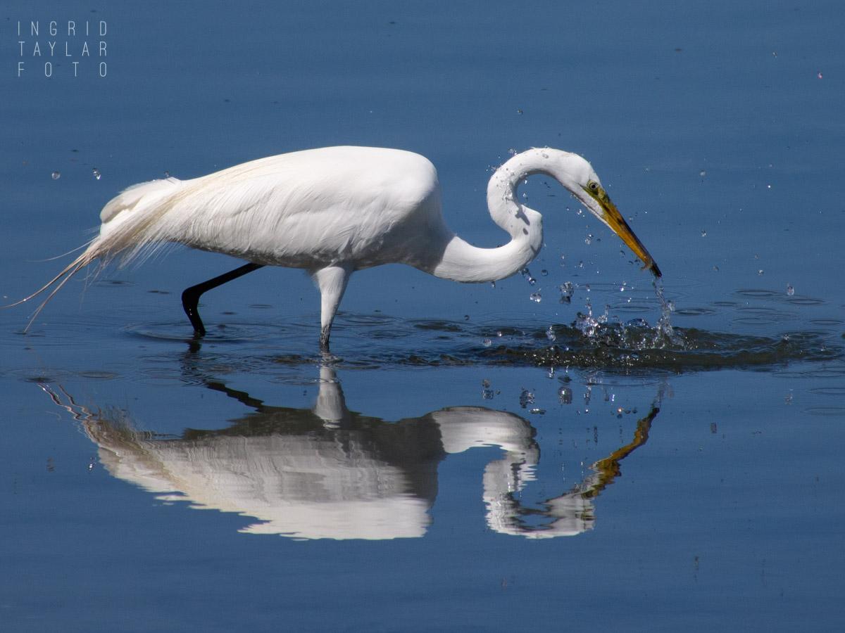 Great Egret Fishing in Bodega Bay