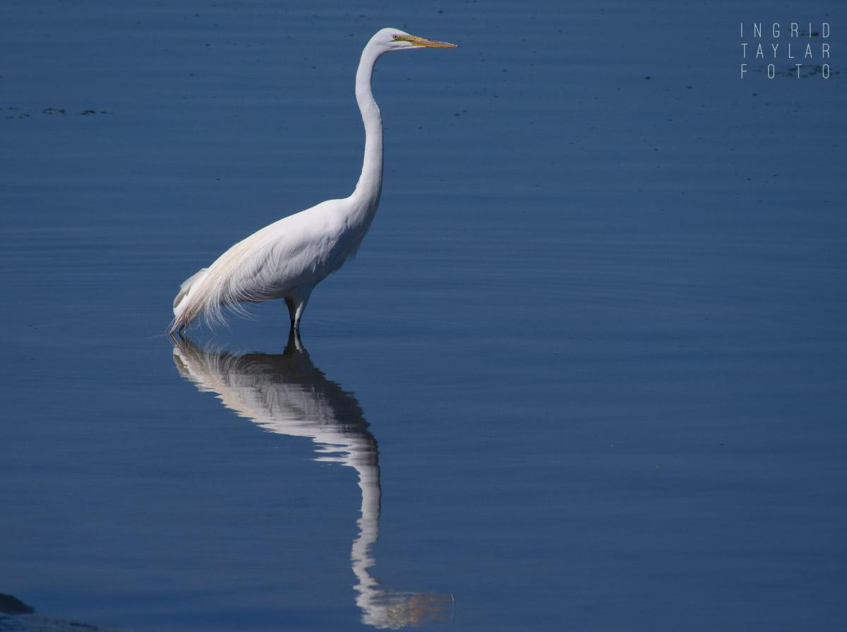 Great Egret Reflected in Bodega Bay