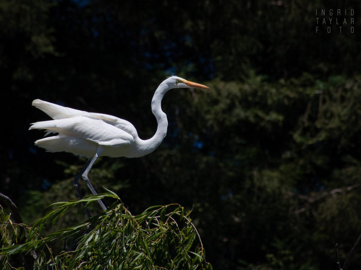 Great Egret in Santa Rosa Rookery