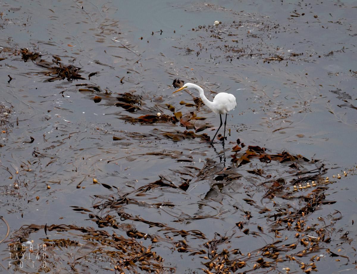Great Egret on Kelp Float