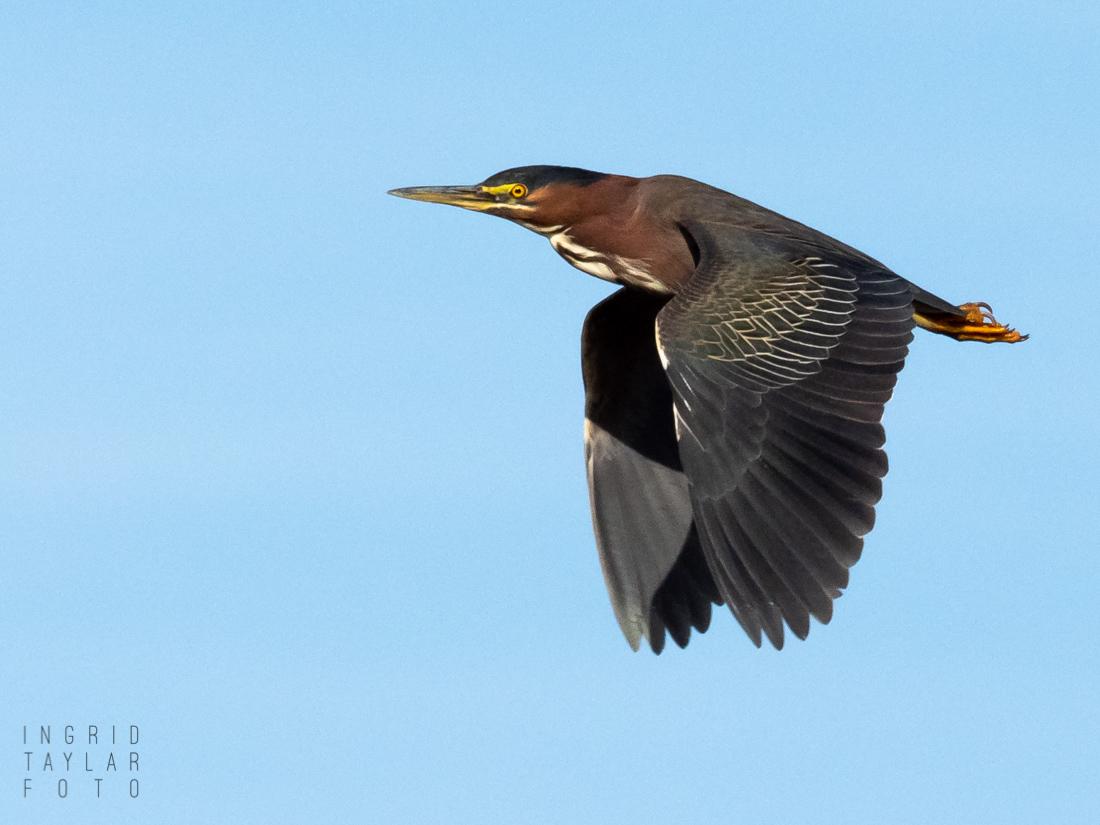 Green Heron in Flight at Las Gallinas