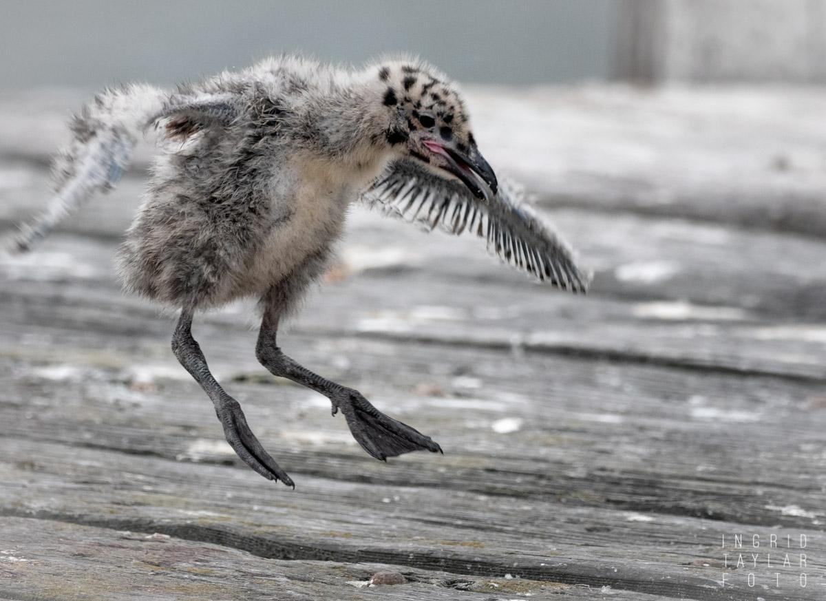 Gull Chick Attempting Flight