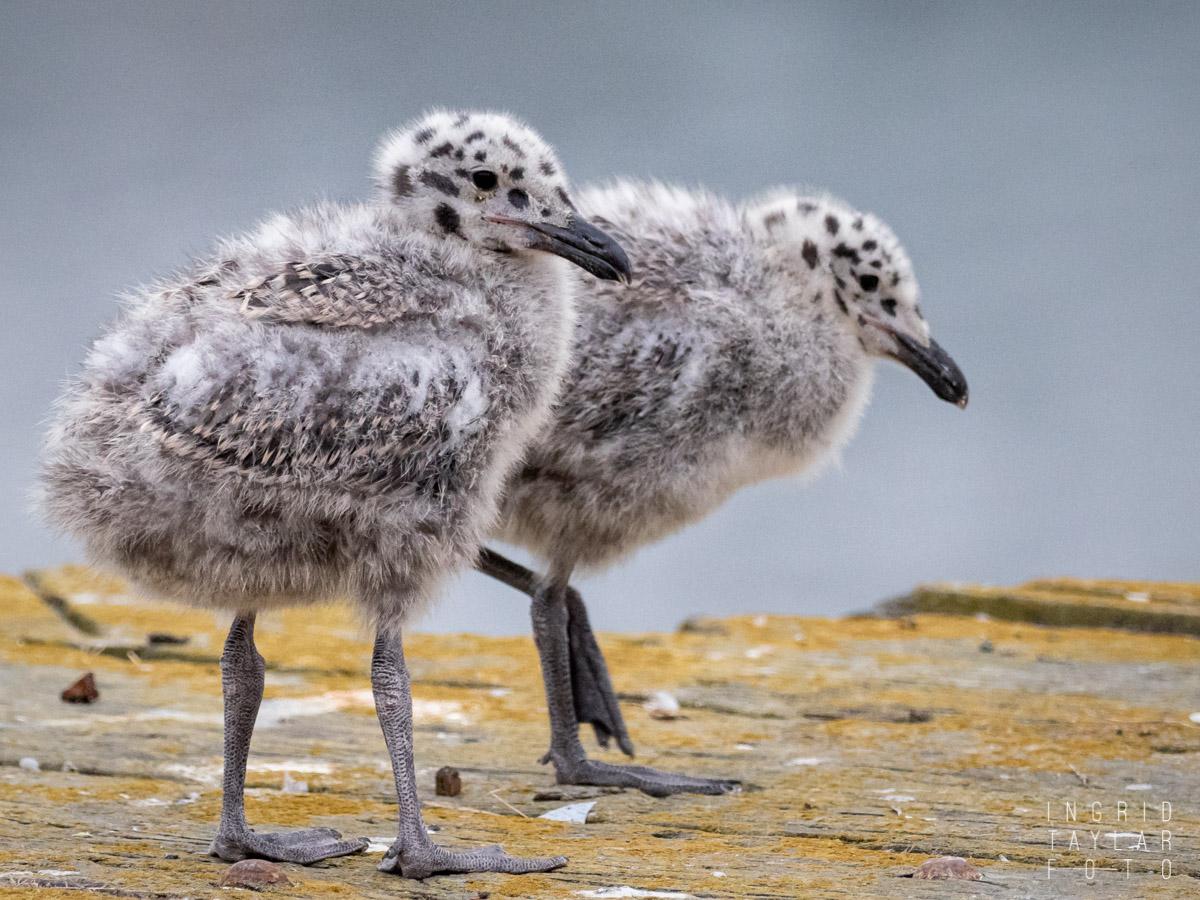 Gull Chick Duo