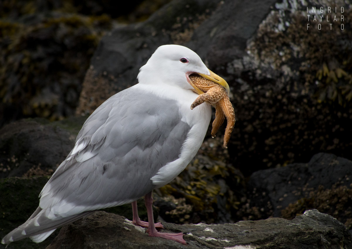 Glaucous-Winged Gull Eating Sea Star