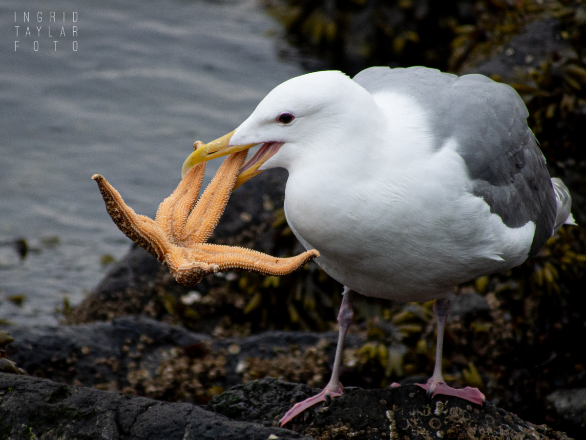 Glaucous-winged Gull Eating Sea Star in Seattle