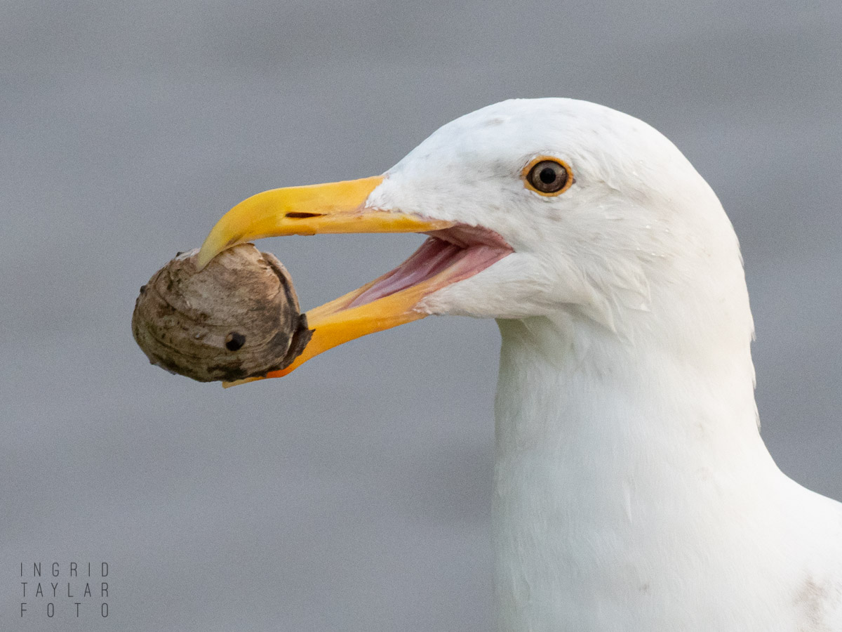 Gull with Clam Shell