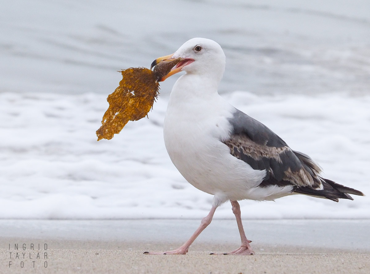 Gull with Seaweed
