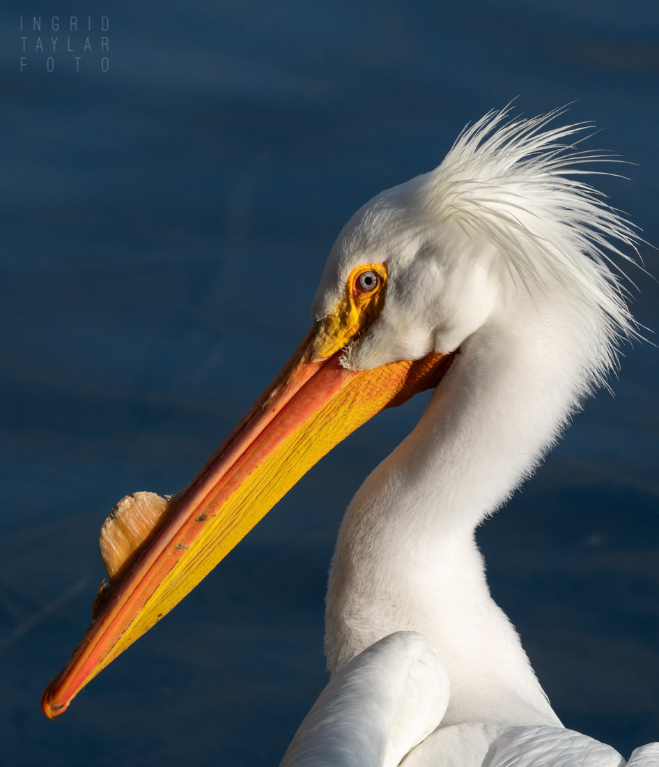Profile of Hank the Pelican at Lake Merritt