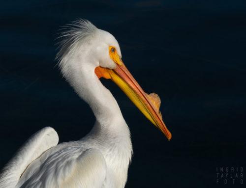 American White Pelican Photos