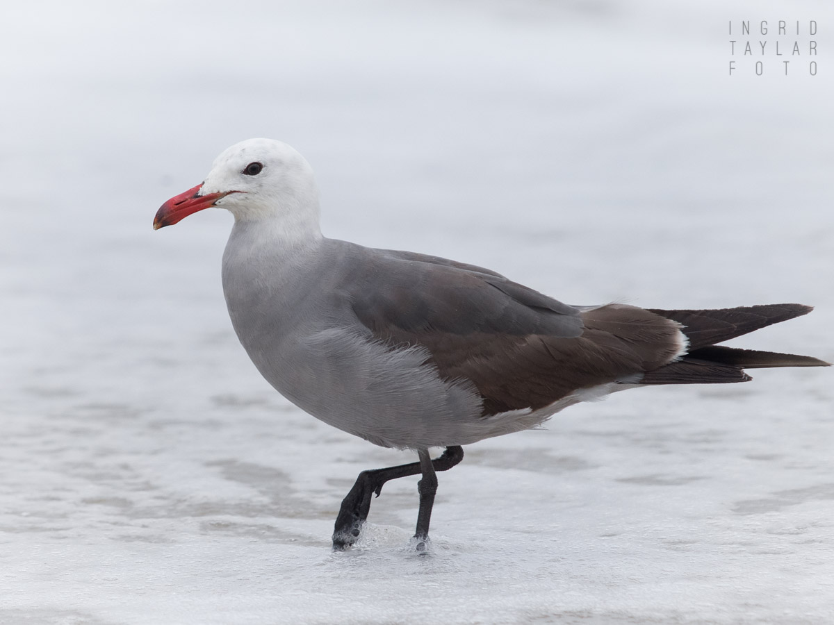 Heermann's Gull Wading in the Surf