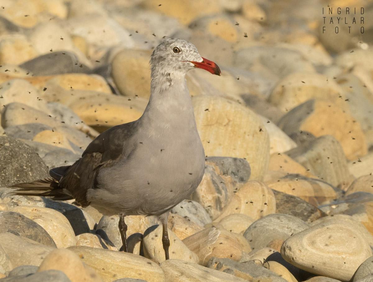 Heermann's Gull in Kelp Flies