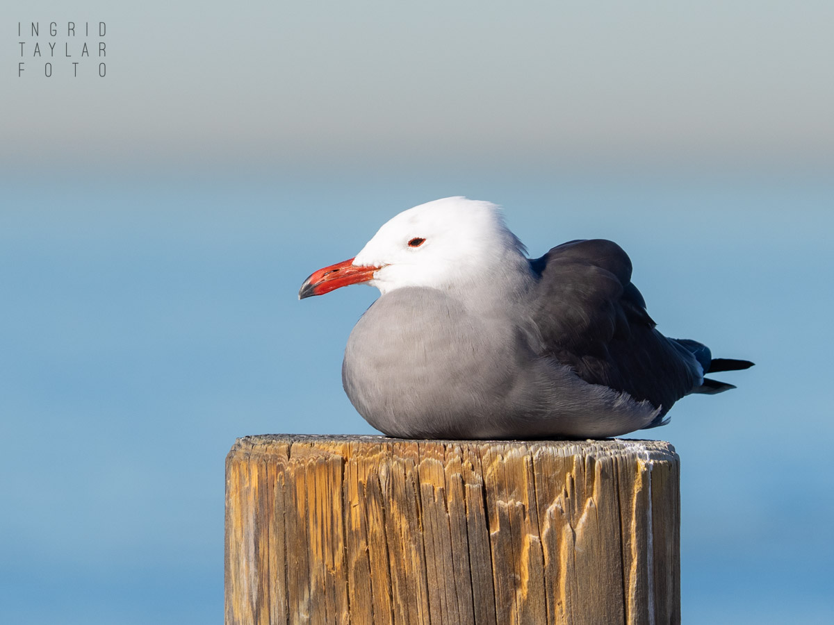 Heermann's Gull on Redondo Pier Piling