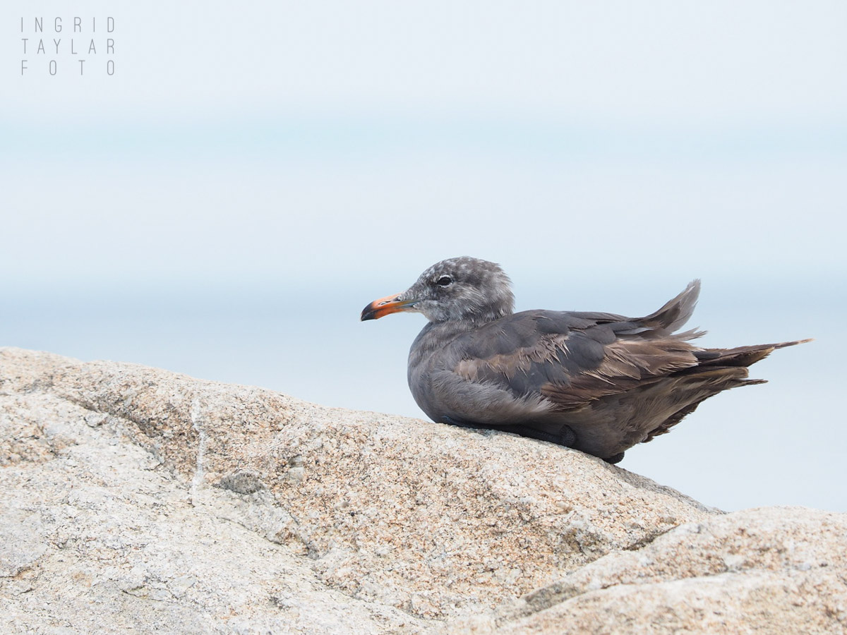 Heermann's Gull on Rock