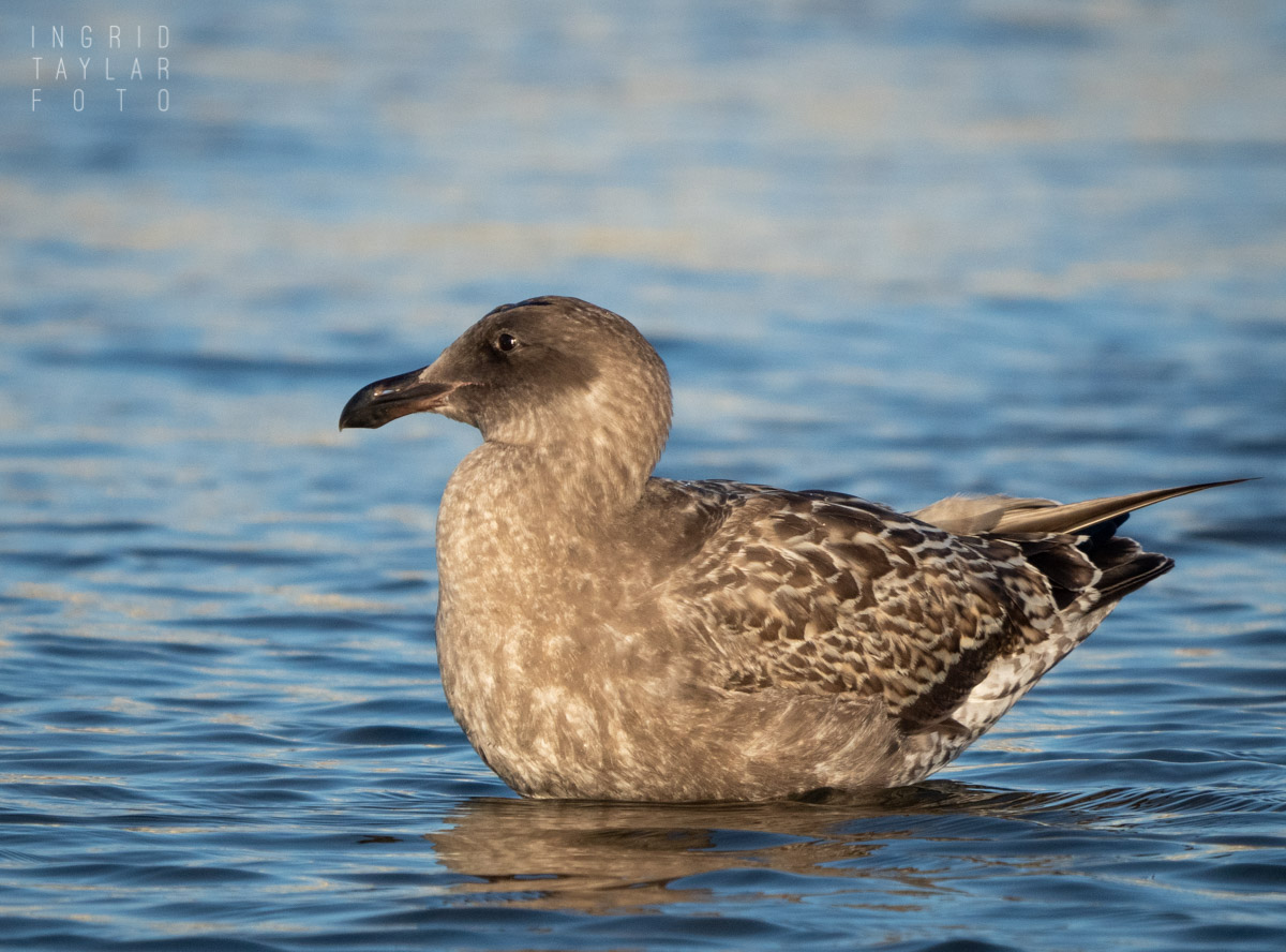 Juvenile Gull on the Water
