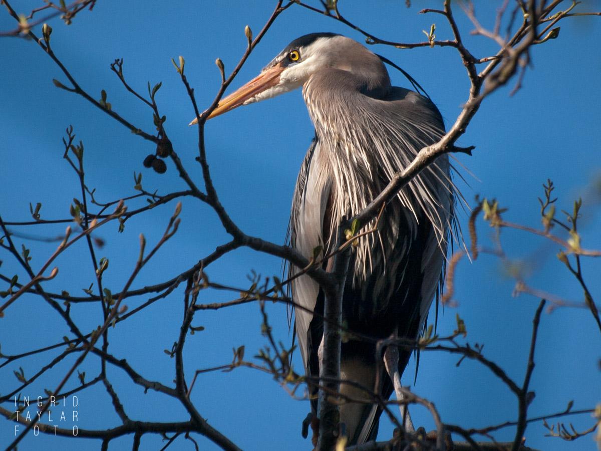 Heron in Ballard Locks Rookery