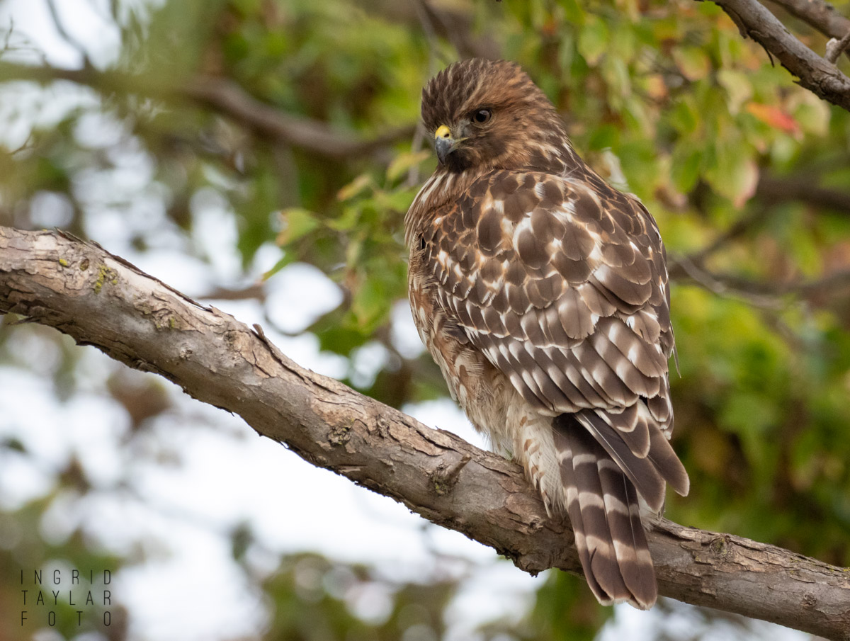 Immature Red-Shouldered Hawk at Lake Merritt