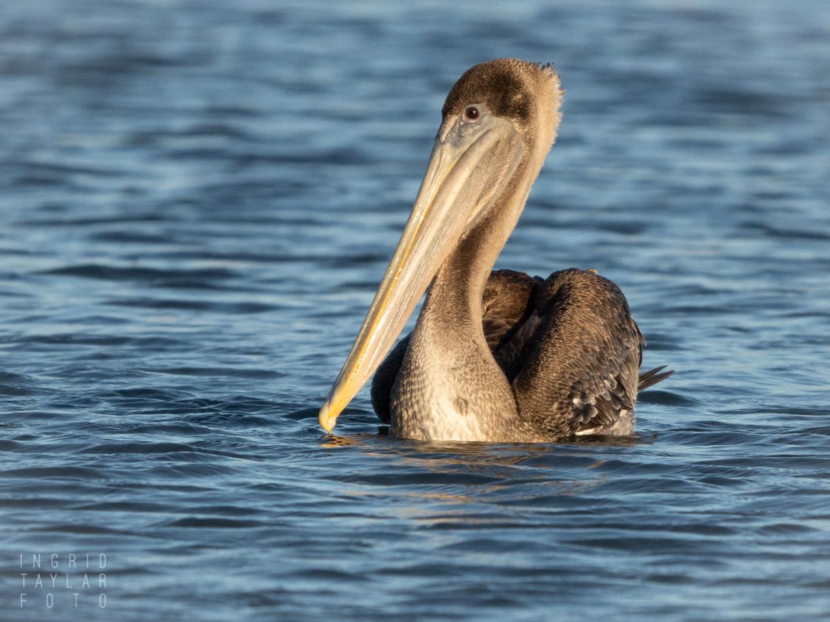 Juvenile Brown Pelican Swimming