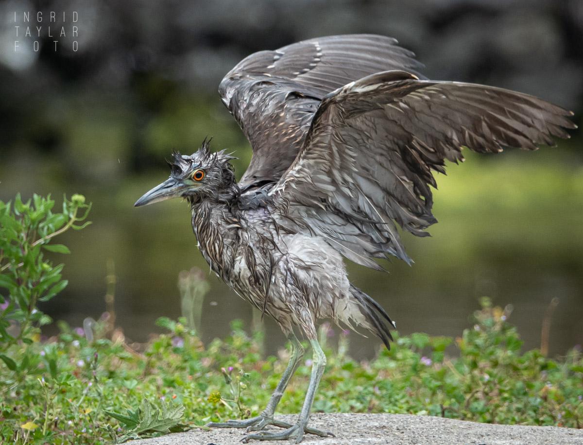 Juvenile Heron Bath