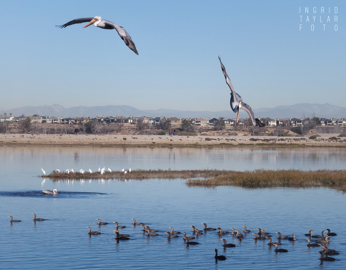 Feeding Frenzy at Bolsa Chica