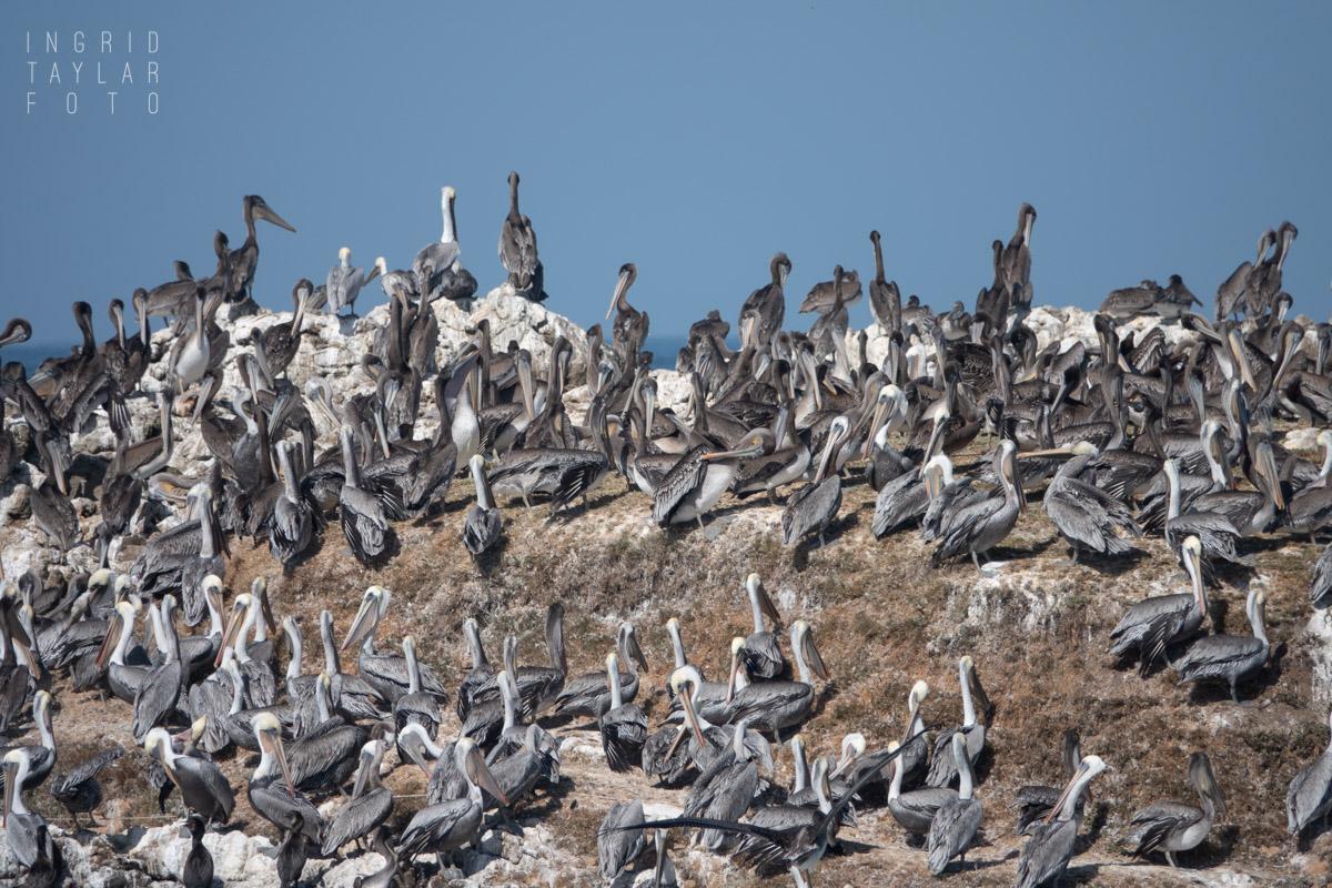 Brown Pelicans Roosting on Rock