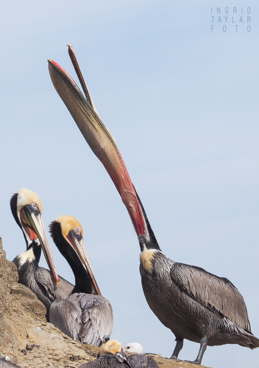Brown Pelican Pouch Stretch