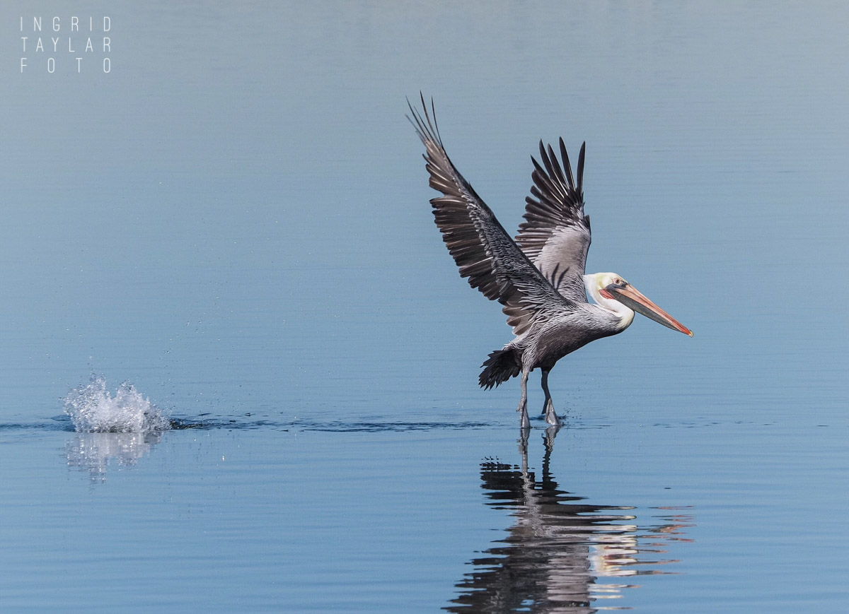 Pelican Takeoff at Bolsa Chica