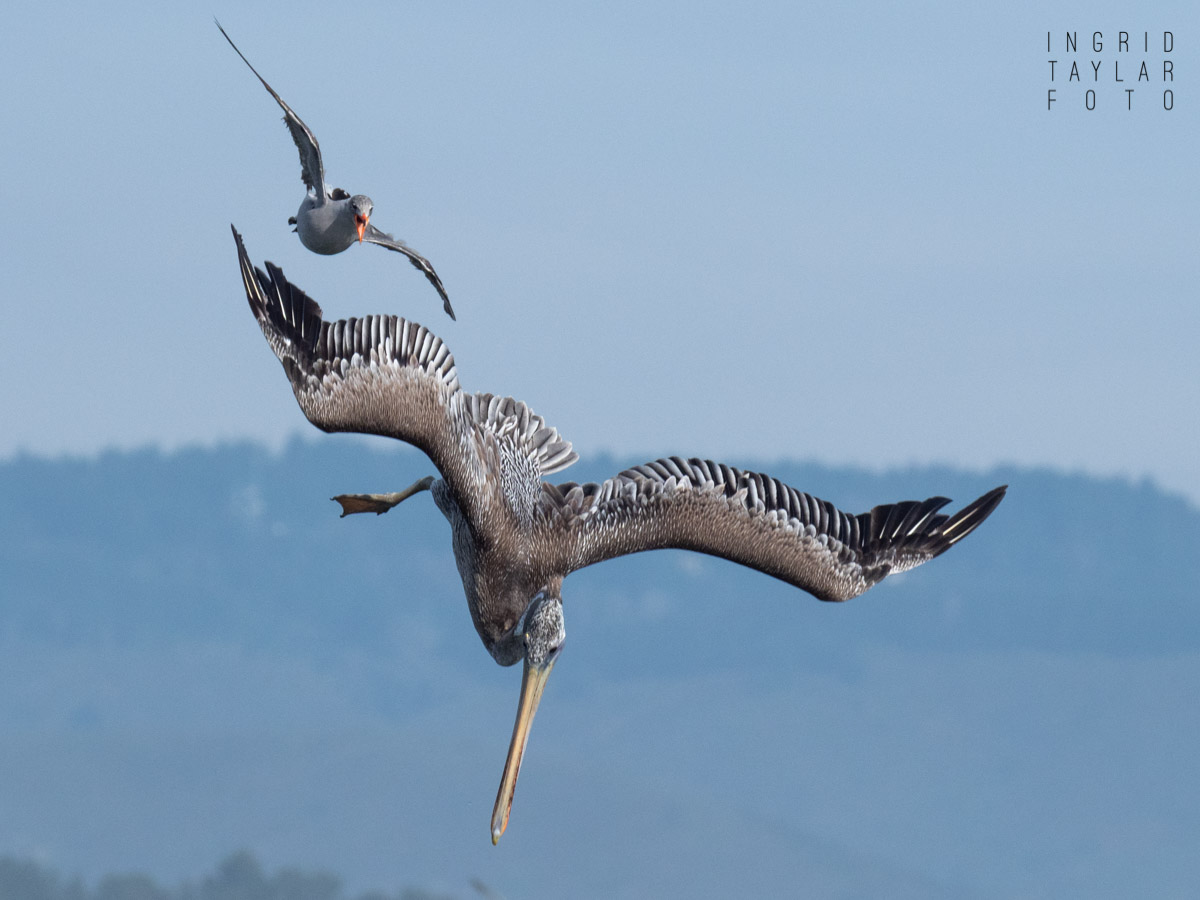 Pelican and Heermann's Gull in Flight