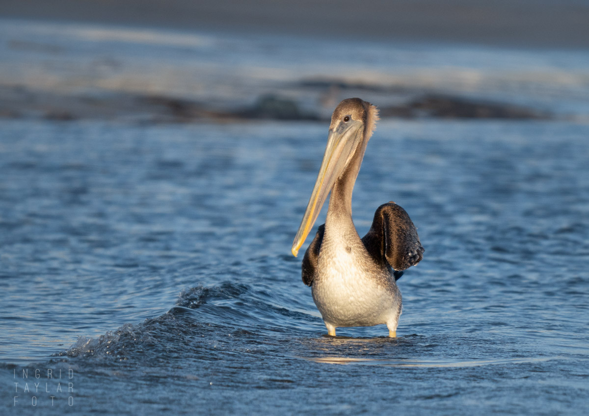 Juvenile Brown Pelican in the Shallows
