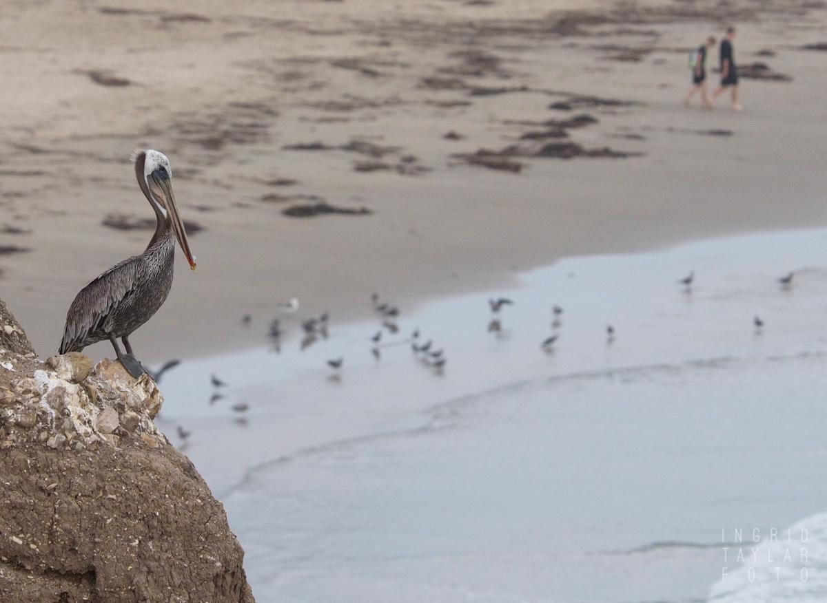 Brown Pelican on Bluff in Pismo Beach