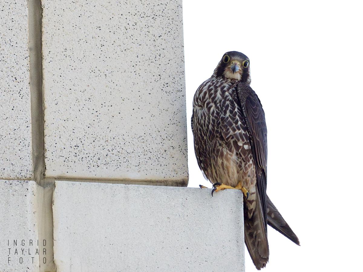 Peregrine Falcon Perched on Building in Oakland California