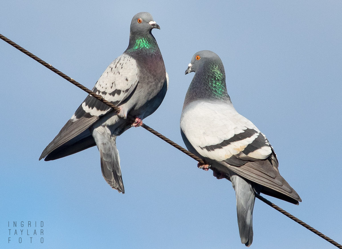 Pigeon Pair on a Wire