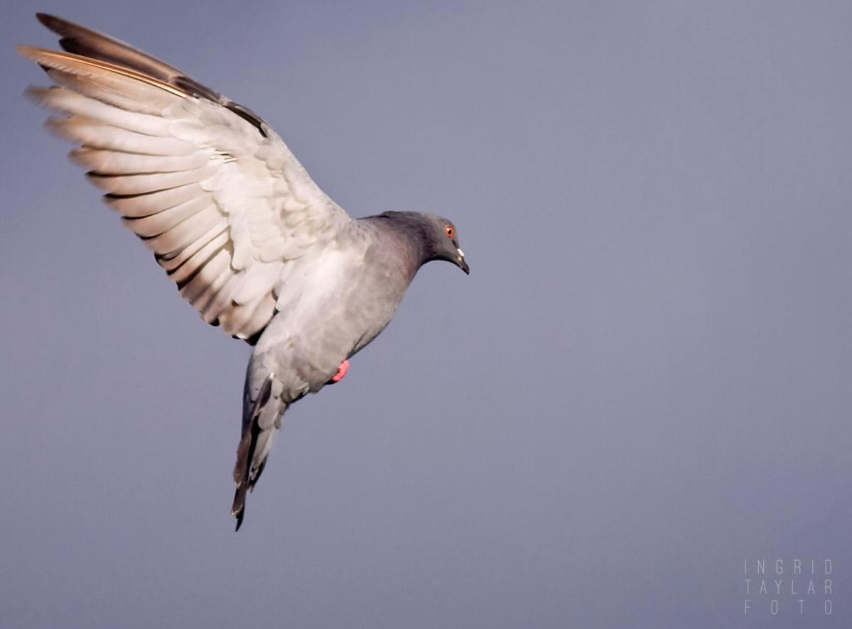 Pigeon in Flight Against Blue Sky