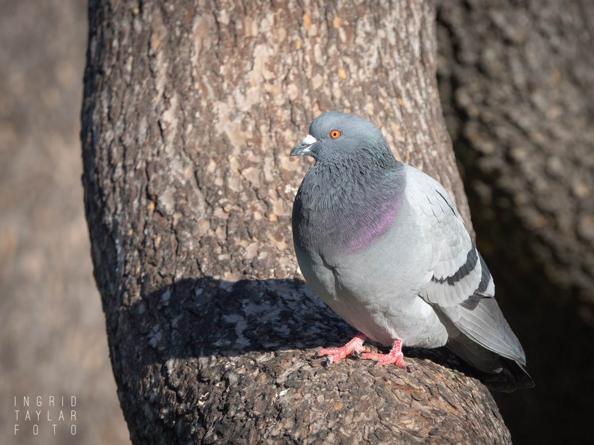 Pigeon in Lake Merritt Tree