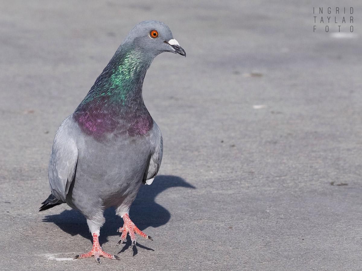 Pigeon on Redondo Pier