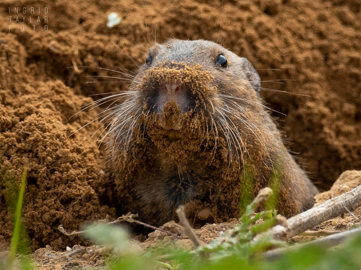 Pocket Gopher Closeup