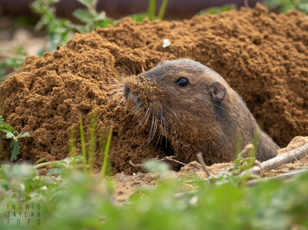 Pocket Gopher on a Big Dig