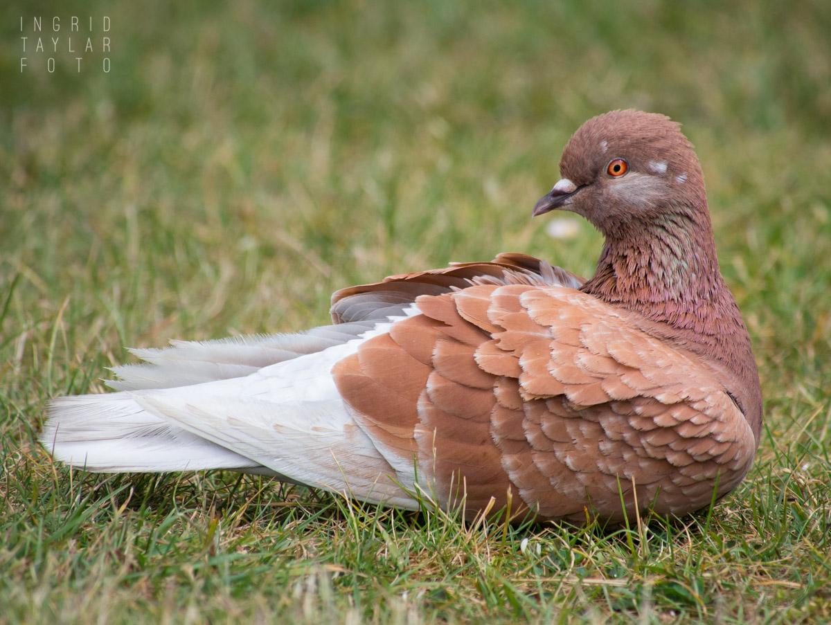 Red Bar Pigeon Relaxing at Golden Gardens Seattle