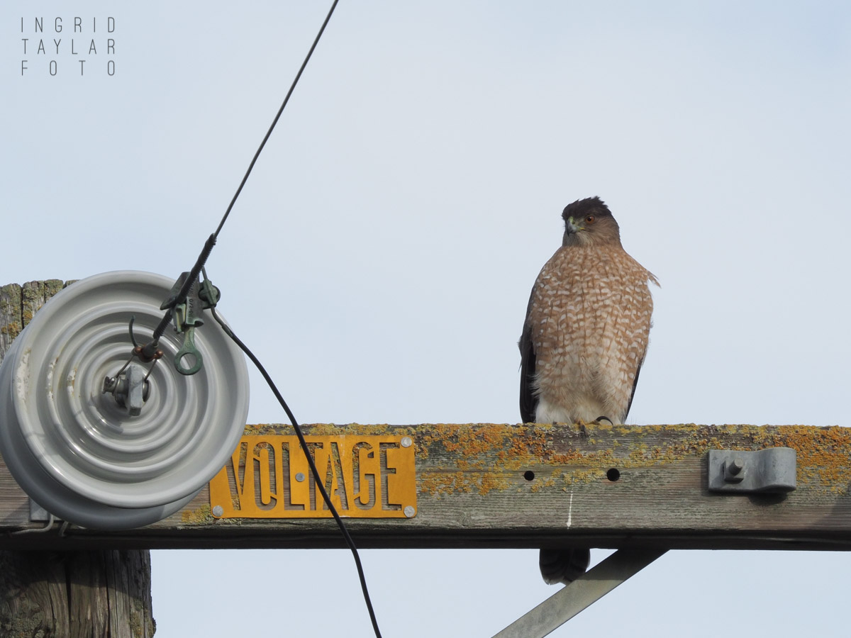 Red-Shouldered Hawk on Power Pole