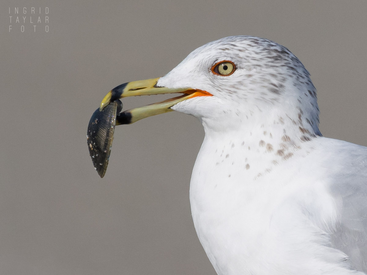 Ring-Billed Gull With Shell