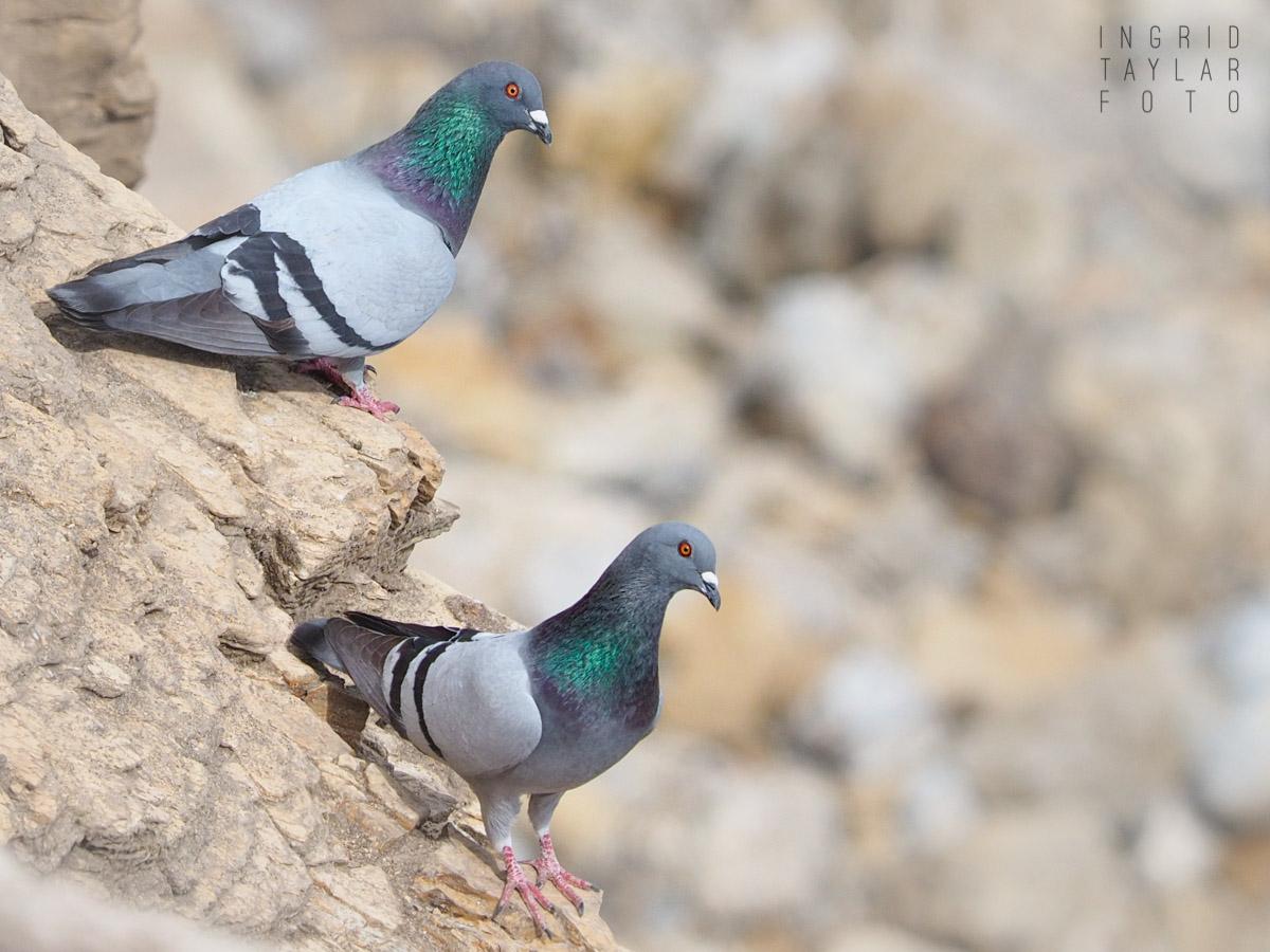 Rock Doves on Rocks