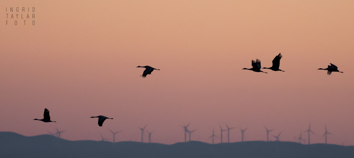 Sandhill Crane Silhouettes 1200