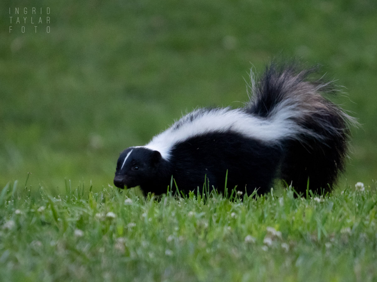 Skunk in Berkeley hills