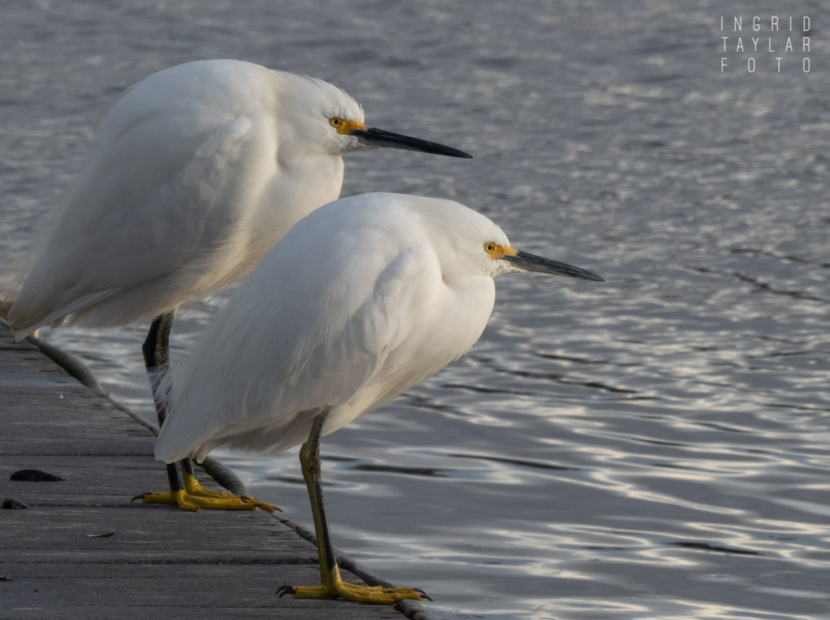 Snowy Egret Duo on Dock